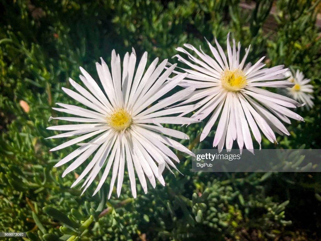 White Karee Moer (Desert Rose) Flowers : Stock-Foto