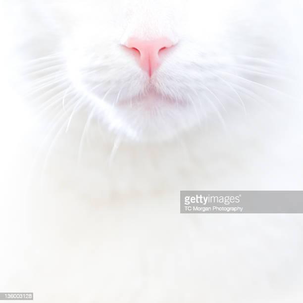 white kitty cat with pink nose - 突き出た鼻 ストックフォトと画像
