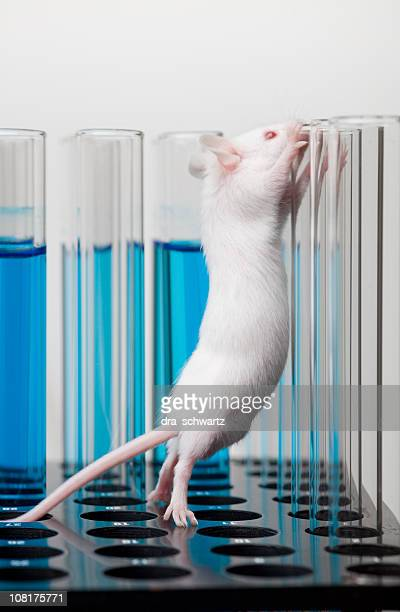 White Laboratory Mouse Climbing on Test Tubes