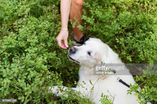 White Labrador amidst blueberries bushes being fed by women
