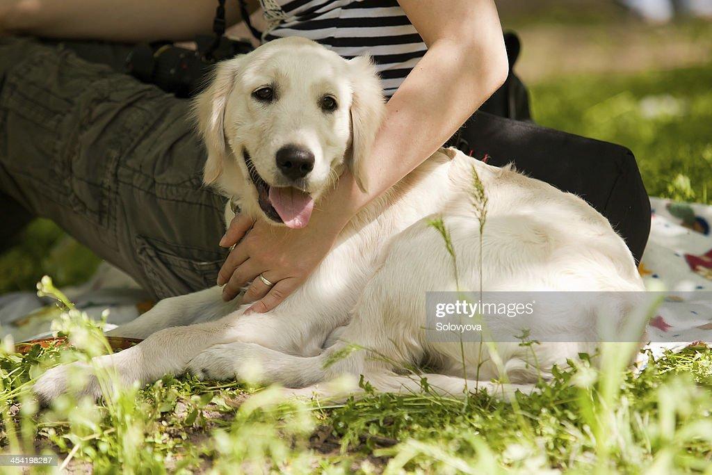White labrador dog : Stock Photo