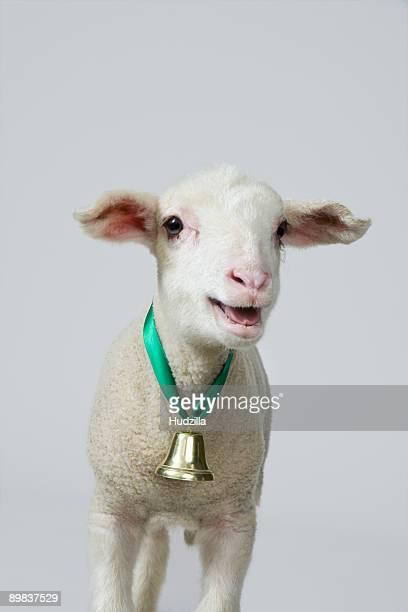 A white lamb bleating, studio shot