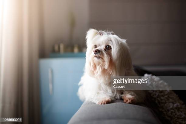 white lhasa apso dog portrait - lhasa apso stock photos and pictures