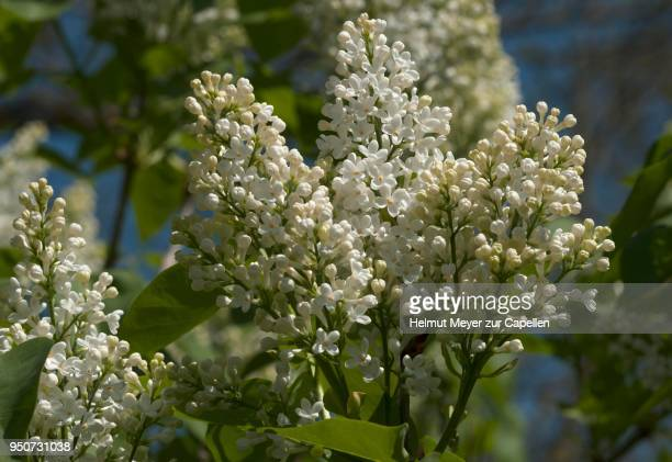 White lilac stock photos and pictures getty images white lilac syringa sp flowers mecklenburg western pomerania germany mightylinksfo