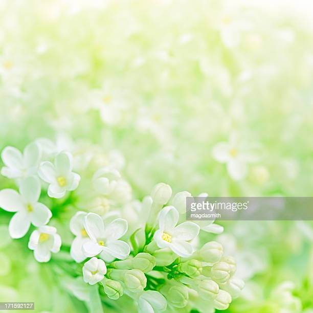 white lilac flowers - magdasmith stock pictures, royalty-free photos & images