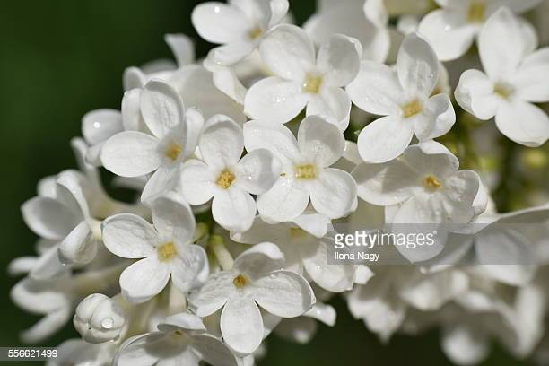 White lilac stock photos and pictures getty images white lilac flowers mightylinksfo