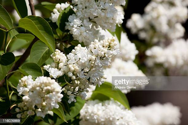white lilac - andrew dernie stock pictures, royalty-free photos & images