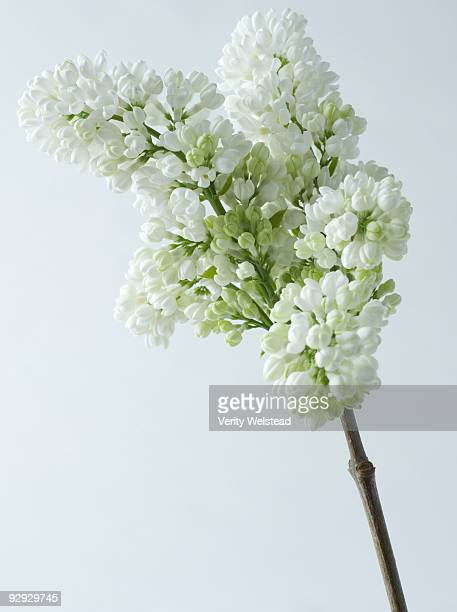 White lilac stock photos and pictures getty images white lilac mightylinksfo