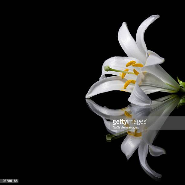 White lily and reflection on a black background