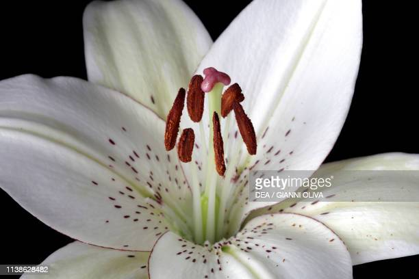 White lily flower , detail.
