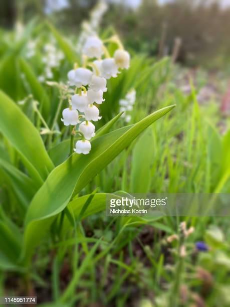 white lily of the valley - bouquet de muguet fotografías e imágenes de stock