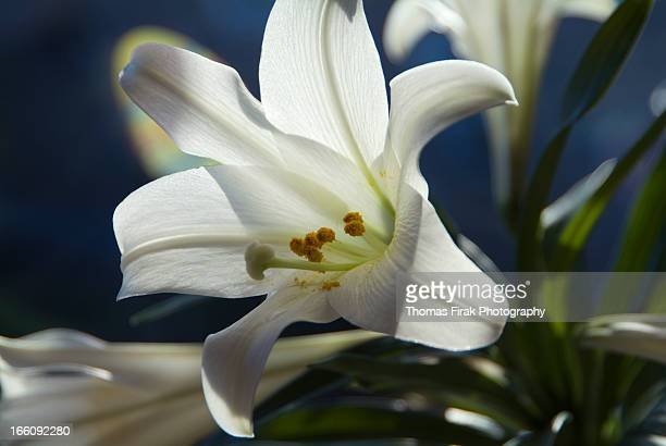 white lily -  firak stock pictures, royalty-free photos & images