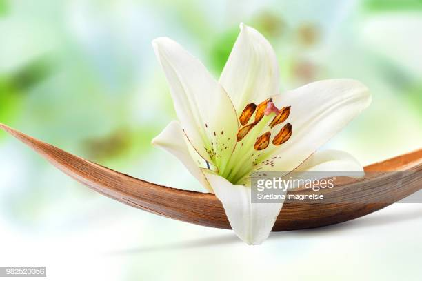 white lily - svetlana stock photos and pictures