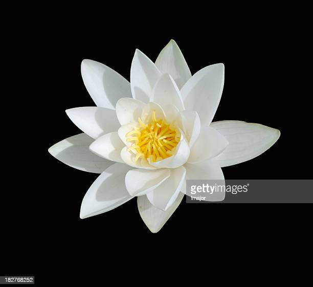 White Lily with yellow center isolated on black