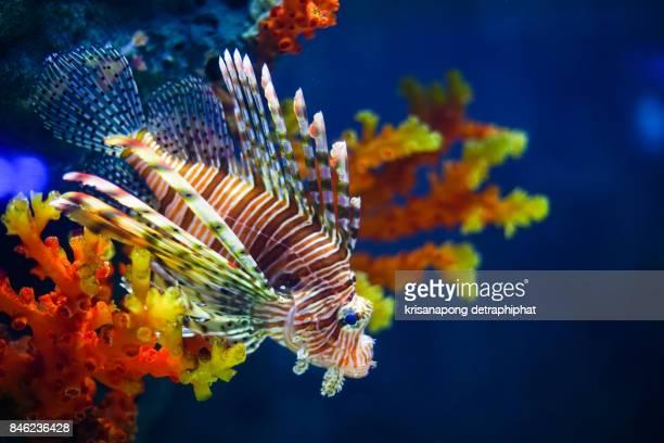 white- lined lionfish - poissons exotiques photos et images de collection