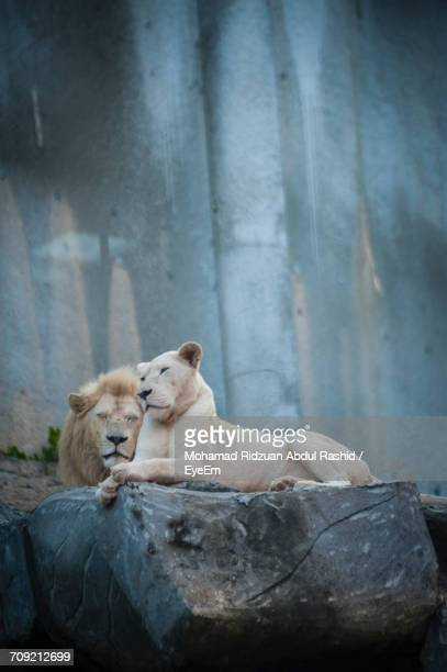 white lion and lioness in cave at zoo - white lion stock photos and pictures