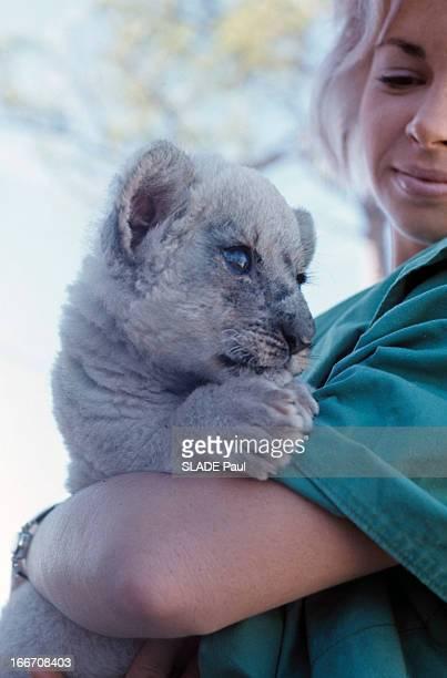 A White Lion At Palm Beach Zoo Au zoo de Palm Beach une employée tenant dans ses bras Lucky bébé lion au pelage blanc