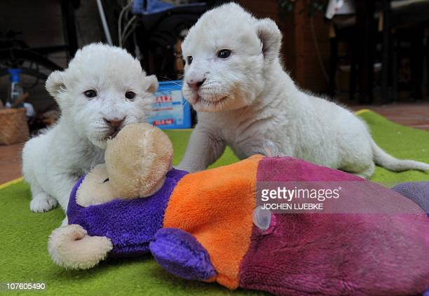 White lion babies Niza and Nero play with a stuffed animal on December 15 2010 in Hodenhagen northwestern Germany The twins were born by Caesarean on...