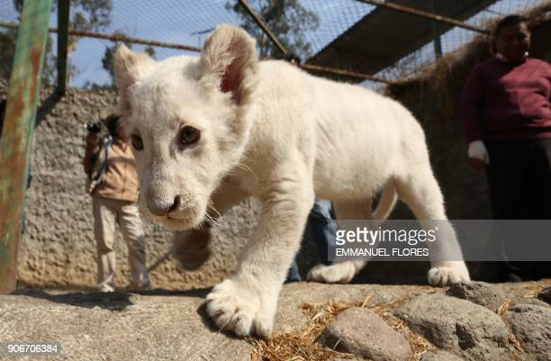 A white lion cub about four months old is presented to the press in a cage at the Altiplano zoo in Tlaxcala Mexico on January 18 2018 The white lion...