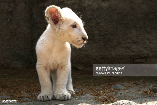TOPSHOT A white lion cub about four months old is presented to the press in a cage at the Altiplano zoo in Tlaxcala Mexico on January 18 2018 The...