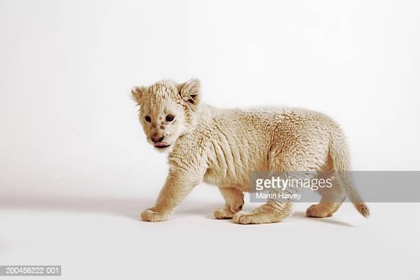 White lion cub (Panthera leo krugeri) against white background