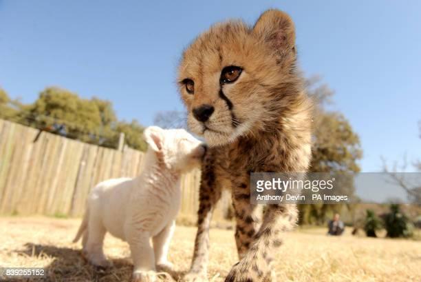 A White Lion cub bites a baby Cheetah Bloemfontain South Africa
