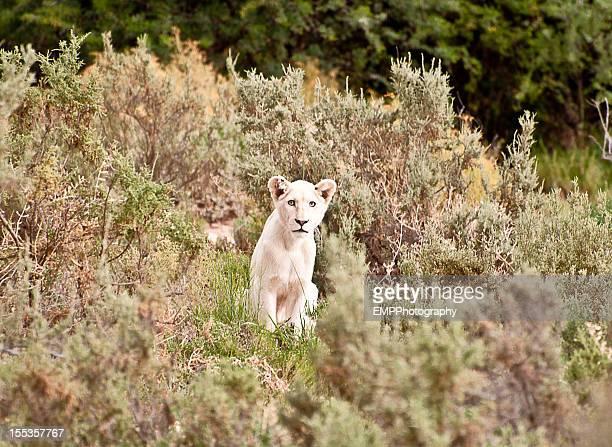 Blanc Lionceau dans la nature sauvage