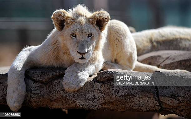 A white lion cub is pictured at the orphenage of the private Rhino and Lion Nature Reserve on July 21 2010 in Krugersdorp north of Johannesburg AFP...
