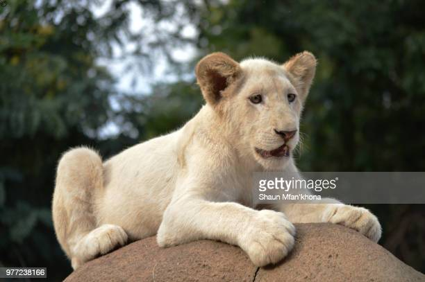 white lion cub - lion cub stock-fotos und bilder