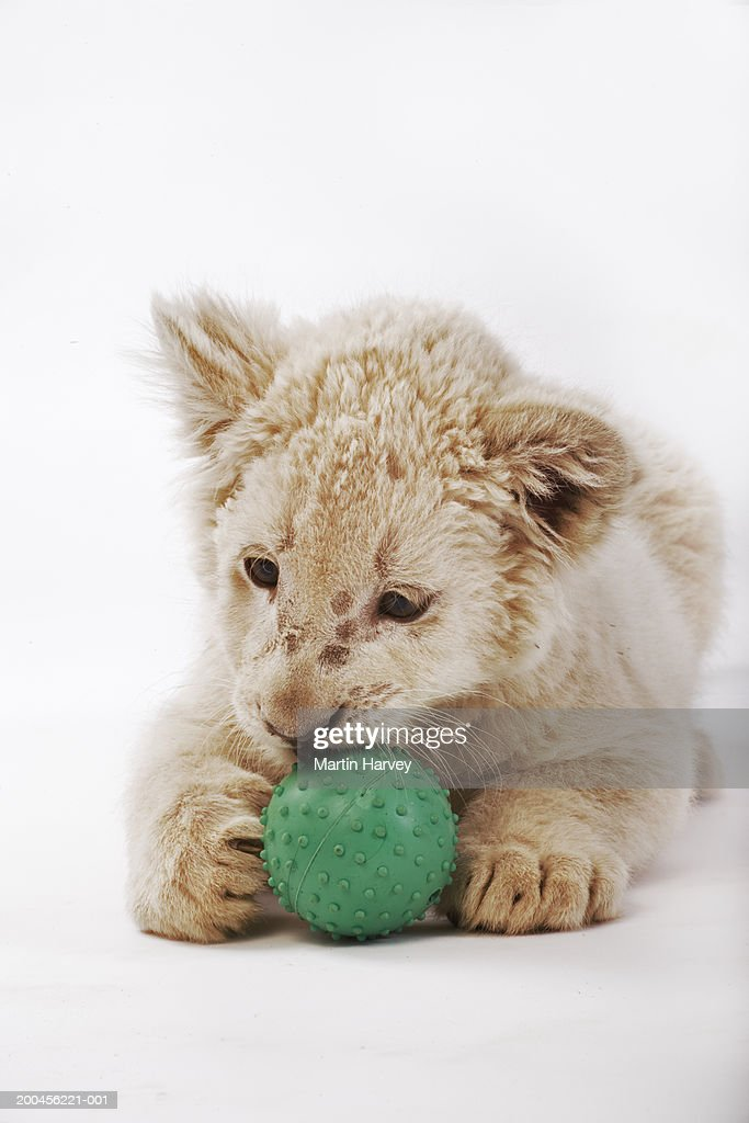 White lion cub (Panthera leo krugeri) playing with ball : Stock Photo