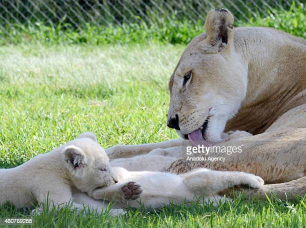 White lion cubs lie down beside their mother at the Lion Park situated 35 km away from Johannesburg South Africa on November 20 2014 The Lion Park...