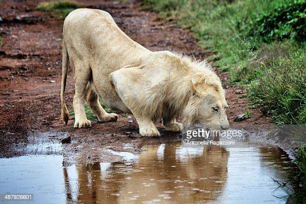 white lion drinking - white lion stock photos and pictures