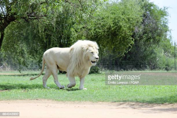 white lion in forest - white lion stock photos and pictures