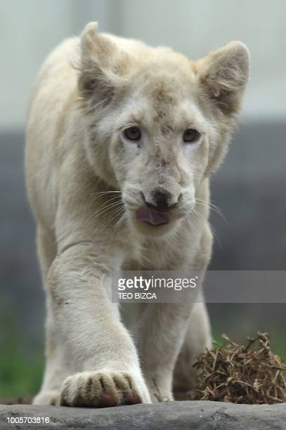 A white lion is seen at Huachipa Zoo in Lima province Peru on July 26 2018 Two white lions a four and a fivemonthold born at the Altiplano Zoo in...