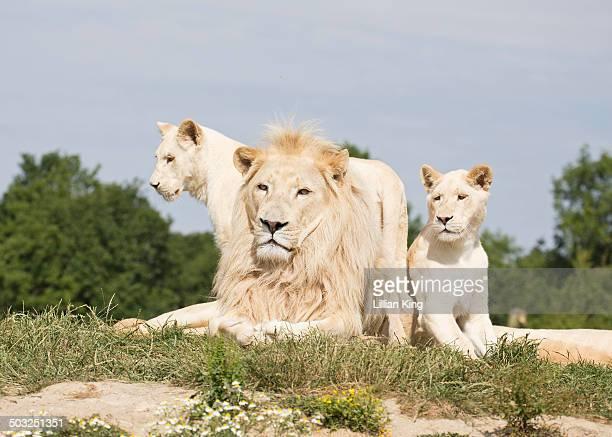 white Lion King
