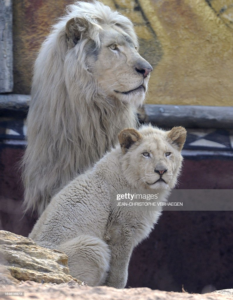 A white lion male (L) and a female cub are presented on March 25, 2013 at a zoological park the eastern French city of Amneville. Three white lions, a 5-year-old male, a 4-year-old female and a female cub born in July 2012, arrived at the zoo a week ago.