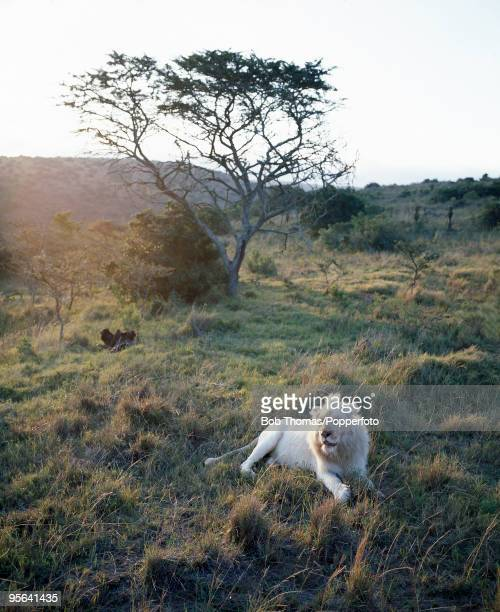 A white lion photographed at sunrise in the Pumba Game Reserve near Port Elizabeth in South Africa June 2006