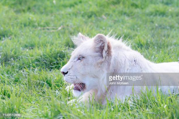 white lion - white lion - fotografias e filmes do acervo