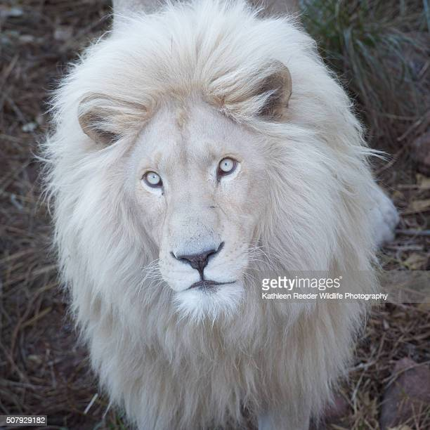 60 Top White Lion Pictures, Photos and Images - Getty Images