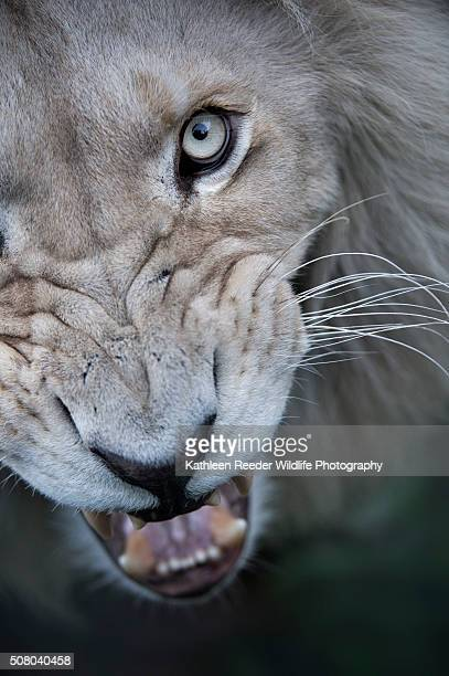 white lion - white lion stock photos and pictures
