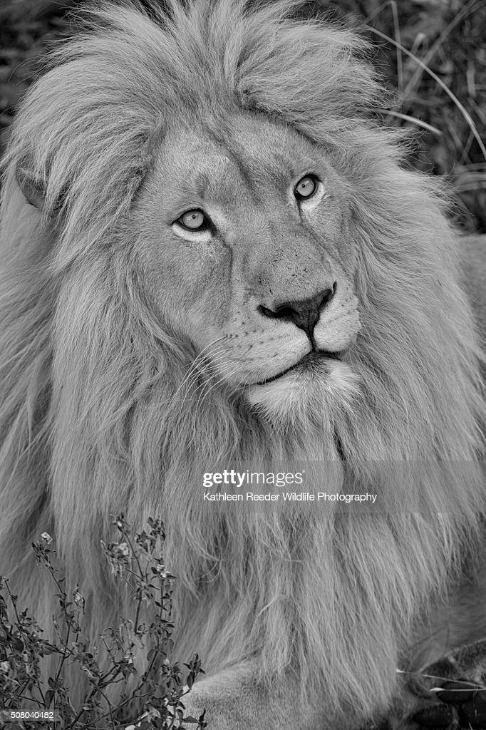 White Lion : Stock Photo
