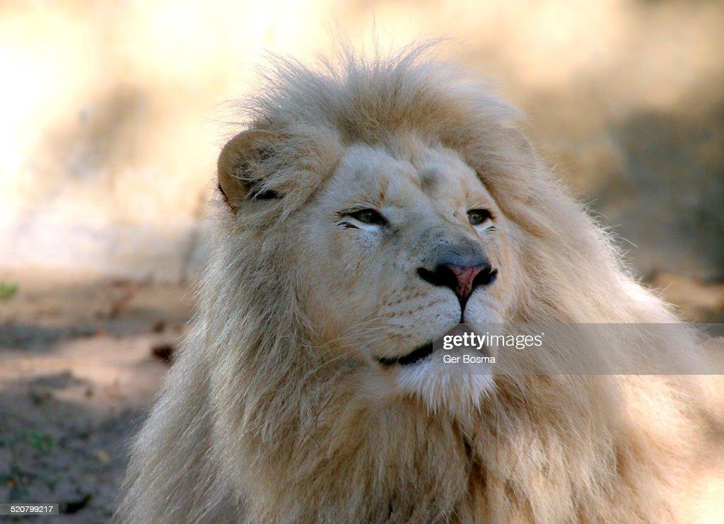 White Lion Potrait : Stock Photo