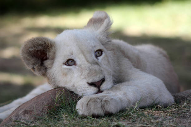 Free White Lion Images Pictures And Royalty Free Stock Photos