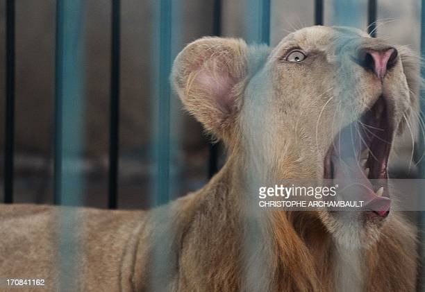 A white lion roars in a cage at a house where more than 200 live wild animals including 14 white lions were discovered last week on the outskirts of...