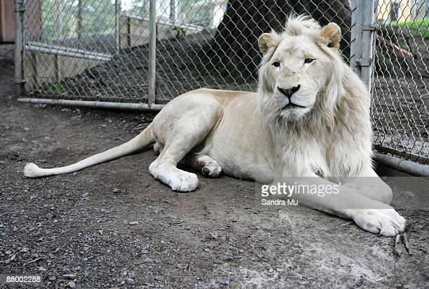 A white lion sits in its enclosure at the Zion Wildlife Park on February 7 2006 in Whangarei New Zealand A zookeeper was killed on May 27 2009 by a...