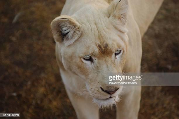 Blanc Lionne