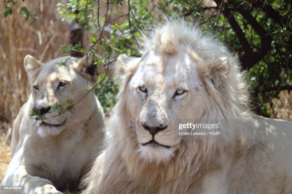 White lions in forest : Stock Photo