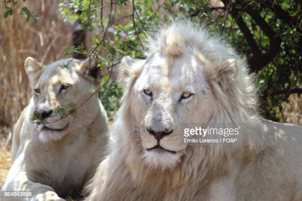 white lions in forest - white lion stock photos and pictures