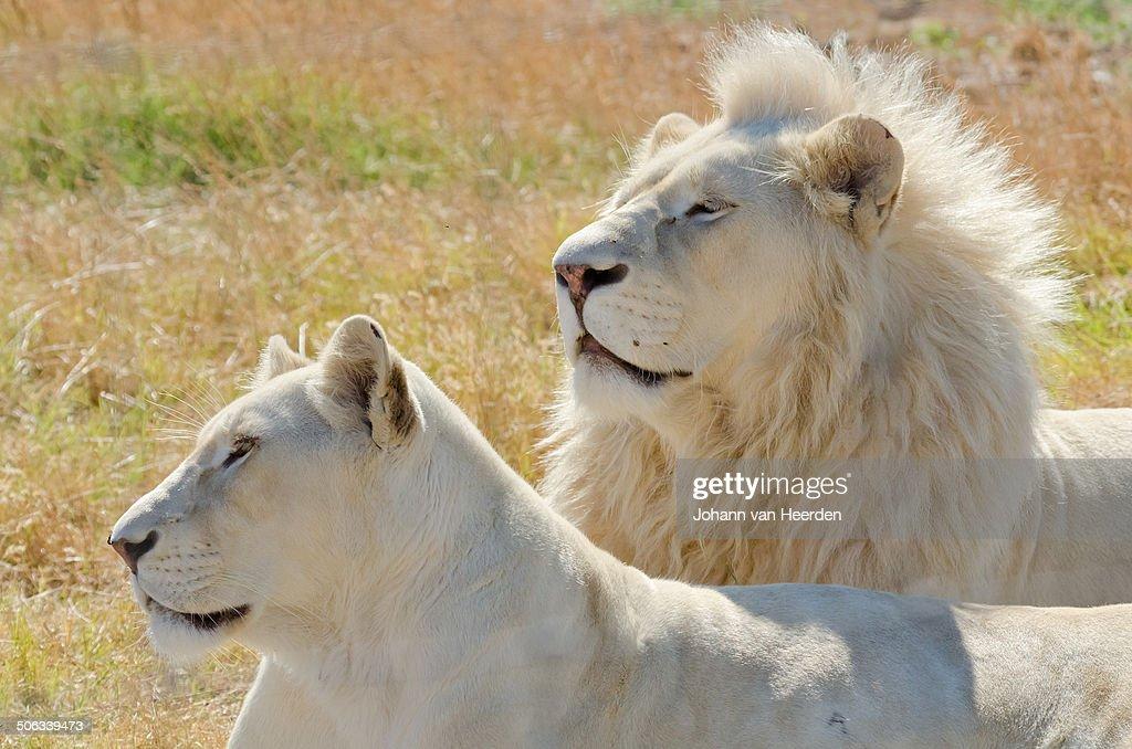 White lions : Stock Photo