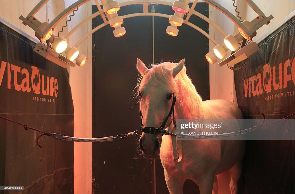 A white Lipizzaner of the Spanish Riding School (Spanische Hofreitschule) receives a wellness treatment in the stables of the Spanish Riding School in Vienna on November 14, 2013.